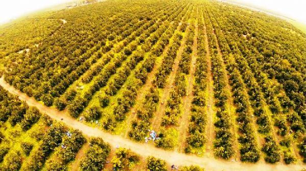 Vista dall'alto di un agrumeto di Sicilia