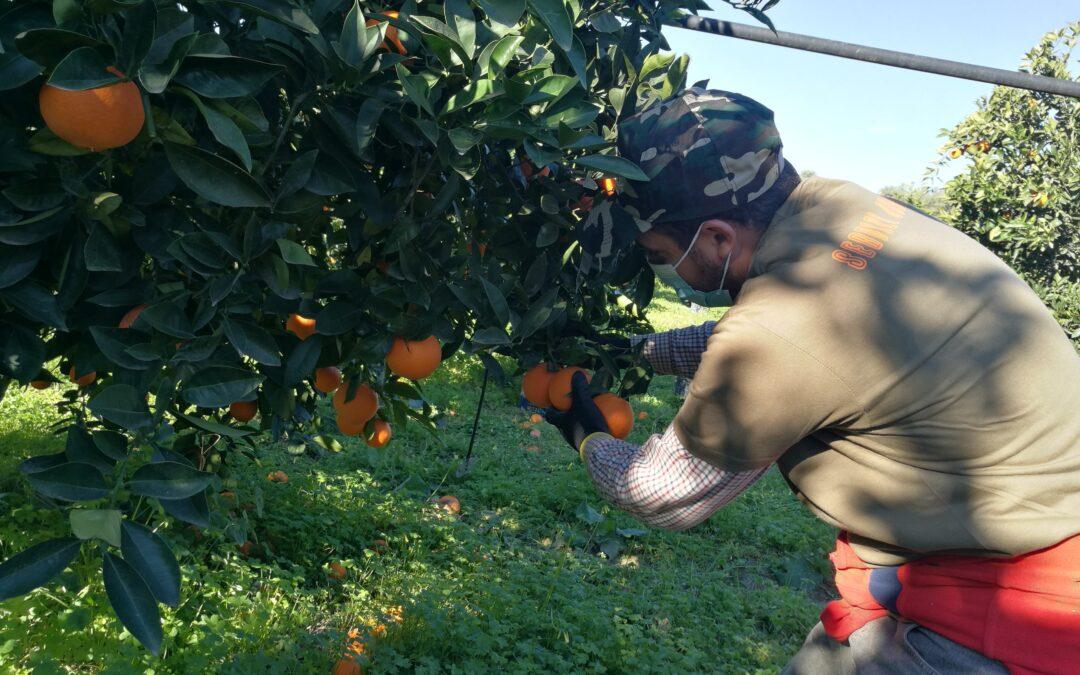 """AGRUMI/Sicilia, Argentati: """"Sbloccare fondi per piano di promozione degli agrumi di qualità"""""""