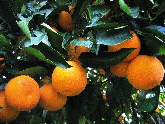 AGRUMI: grandi o piccole, sempre piene di energia arrivano le arance, naturale difesa immunitaria