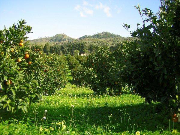 Produzione agrumi di Sicilia