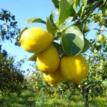 Limone Igp di Siracusa al Blue Sea Land 2015 a Mazara del Vallo