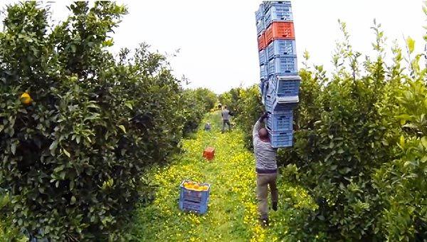 Operai impegnati nella raccolta degli agrumi in Sicilia